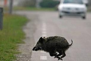 Animale investito: Niente risarcimento se c'è il cartello.